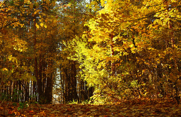 autumn forest scene, yellow leaves shining