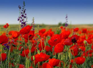 Foto op Plexiglas Klaprozen Poppy field