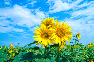 sunflowers family on a background sky