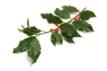 Christmas Holly branch over white background