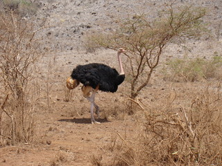 ostrich in game park in africa