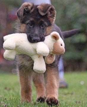 Hundeschaf