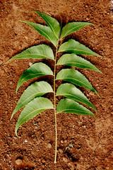 Neem Leaf on a mud