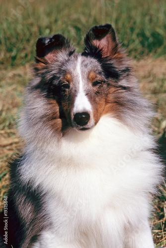 Portrait d 39 un chien shetland bleu merle assis de face for Cout d un chien assis
