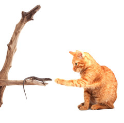 Cat playing with lizard