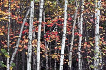 Spoed Foto op Canvas Berkbosje Autumn view into the forest