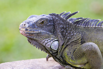Big Iguana on a tree branch