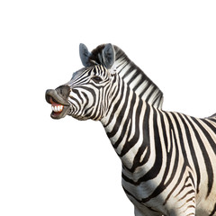 Wall Murals Zebra Laughing zebra