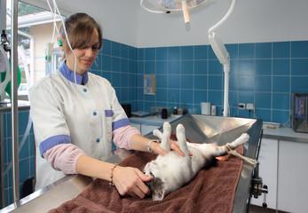 stérilisation d'un chat