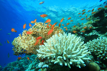 Acropora and fire corals