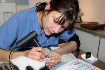 tatouer l'oreille d'un chat