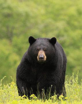 large male black bear