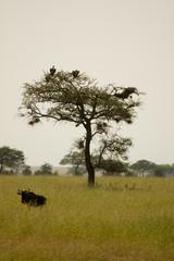 Blue Wildebeest-20