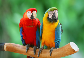 Couple of beautiful macaws