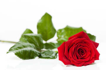 Beautiful red rose for Day Valentine as gift
