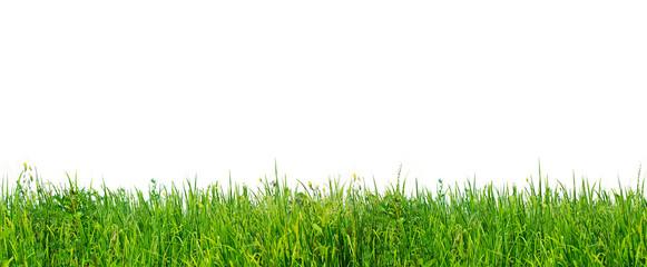 Natural wild grass on white background