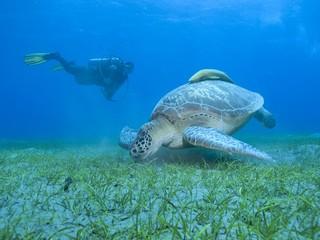 Schildkröte mit Taucher