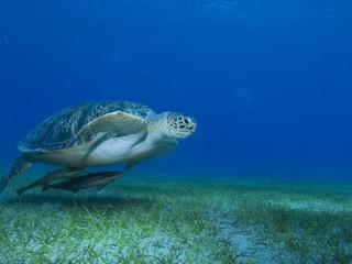 Schildkröte mit Schiffshalter