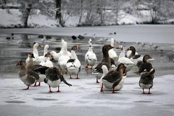 Winter scene - Goose in Ice-Hole