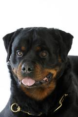 portrait d'un rottweiler en gros plan avec son collier