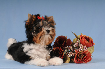 Fluffy puppy liyng with bunch of roses