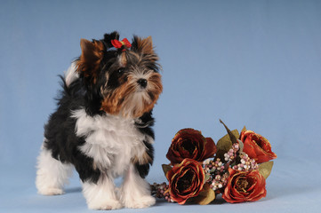 Little cute puppy with bunch of roses