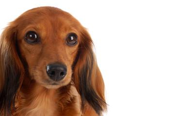 miniature long haired dachshund head portrait