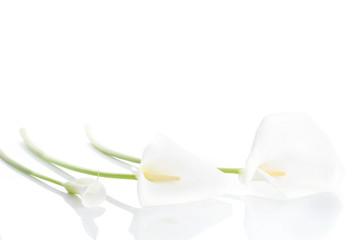 Three white  calla lilies