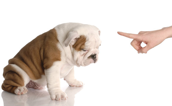 bad dog - bulldog puppy getting reprimanded