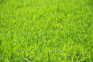 The sunlight shines a grass through