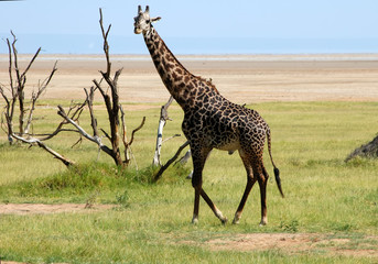 Male giraffe in the Manyara Natl Park; Tanzania