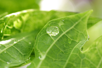 A water Drop on Green Leaf