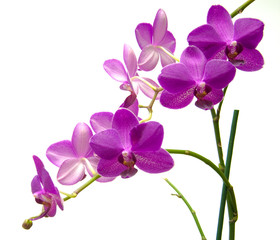 Door stickers Orchid Orchidee