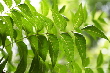 Neem leaves-Herbal medcine