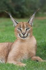 Aluminium Prints Lynx Lynx or Caracal Wild Cat