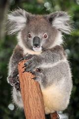 Koala sits on a tree