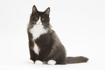 Photos illustrations et vid os de chat norv gien des for ts - Dessin chat assis ...