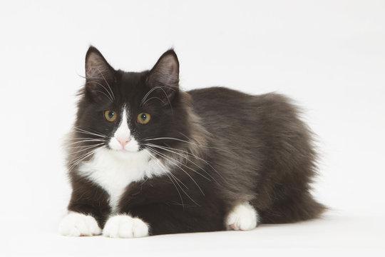 chat noir et blanc tapi sur le sol prêt à bondir