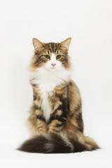 chat des forêts norvégiennes assis très fier et digne