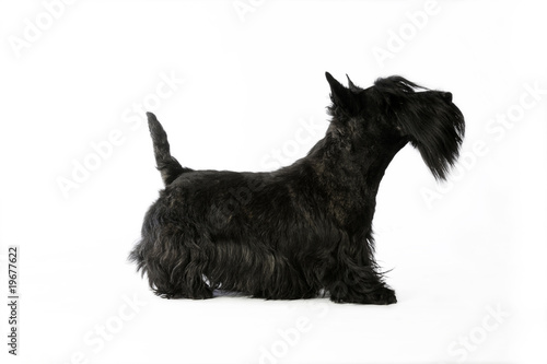 chien de race scottish terrier de profil t te lev e queue droite photo libre de droits sur la. Black Bedroom Furniture Sets. Home Design Ideas