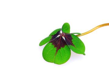 Glücksklee - four leafed clover 25
