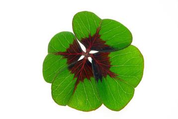 Glücksklee - four leafed clover 30
