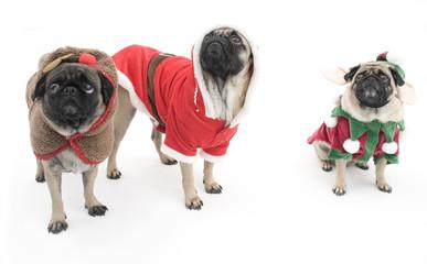 Three Pugs Dressed up for Christmas