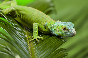 A picture of iguana - small dragon, lizard