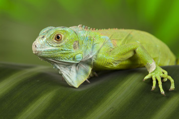 close-up on a iguana