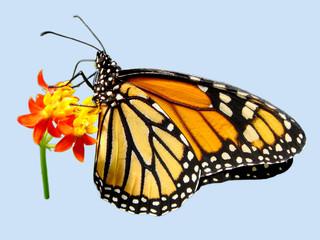 Détourage d'un papillon monarque butinant une fleur