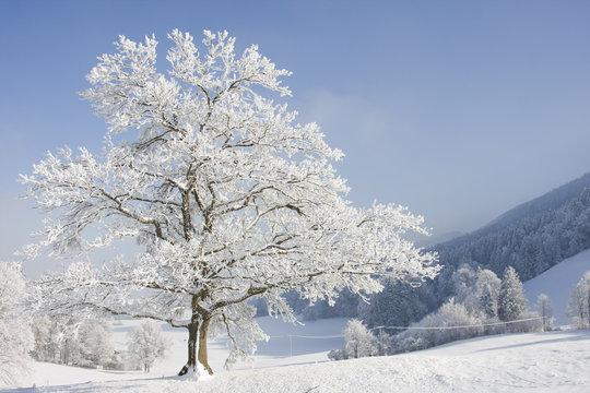 grosser baum im winter