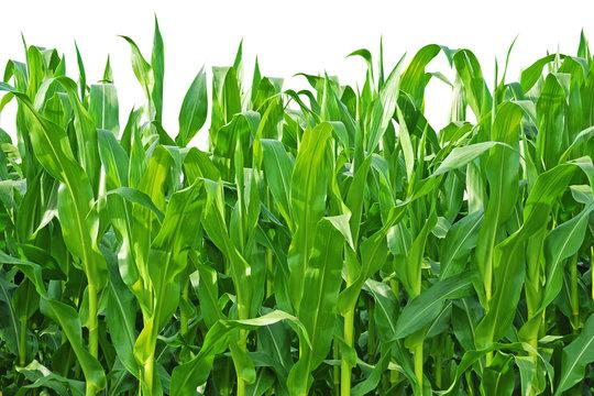 Rows of Corn Stalks Growing on a Farm