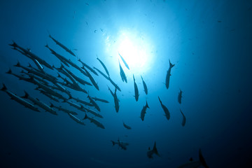 great barracudas and ocean