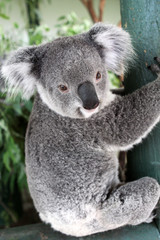 Australian Koala (Phascolarctos cinereus)